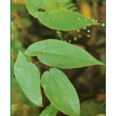 Andrographis Paniculate Extract